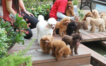 Chó Poodle – Chú cún lông xù với tính cách và ngoại hình siêu cute