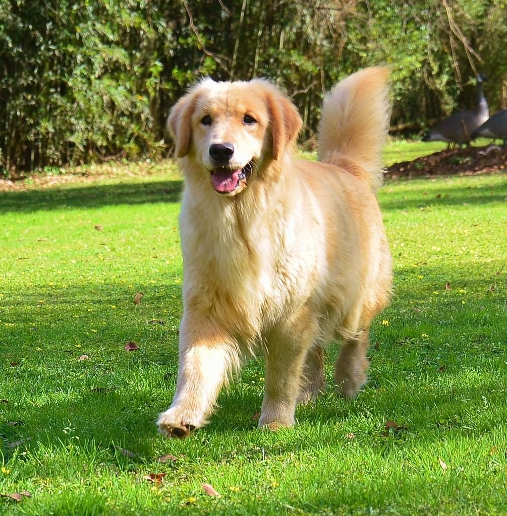 Bộ lông của chó Golden rất dài và mềm mượt