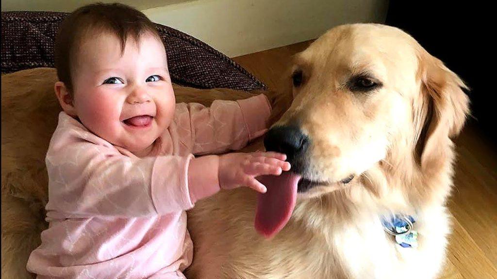 Chó Golden – người bạn tuyệt vời cho các sen con