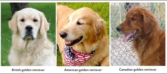 Golden Anh, Golden Mỹ và Golden Canada