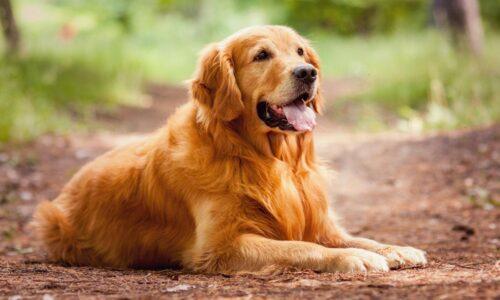 """Chó Golden Retriever – Chú cún mặt """"Đần"""" yêu ngay từ cái nhìn đầu tiên"""