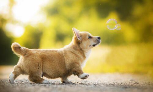 Chó Corgi – Chú lùn mông to, chân ngắn đáng yêu nhất hệ Mặt Trời