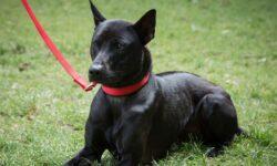 Chó Phú Quốc – Thần khuyển nước Nam dũng mãnh, oai vệ