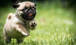 Chó Pug – Chú cún với gương mặt đăm chiêu đáng yêu hết phần thiên hạ