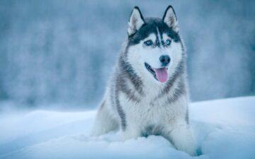 Chó Husky – Tiểu ngáo đang lăm le xâm chiếm thế giới