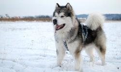 Chó Alaska – Chú cún khổng lồ với trái tim bé bỏng