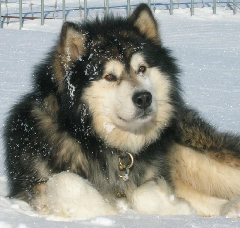 Bộ lông của chó Alaska có cấu tạo gồm 2 lớp