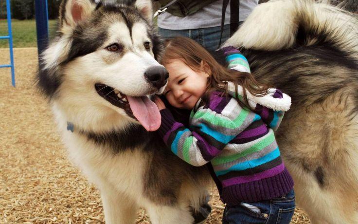 Chó Alaska là người bạn tuyệt vời của trẻ nhỏ