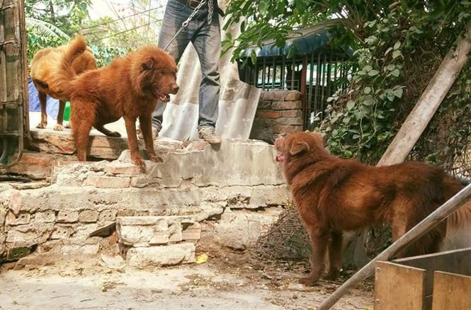 Chó Bắc Hà có bờm lông ở cổ gần giống như bờm sư tử