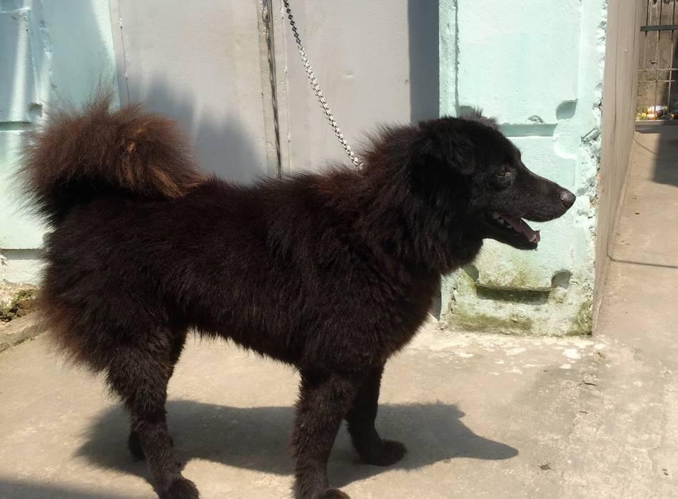 Chó Bắc Hà khi trưởng thành thường có chiều cao từ 50 đến 60cm