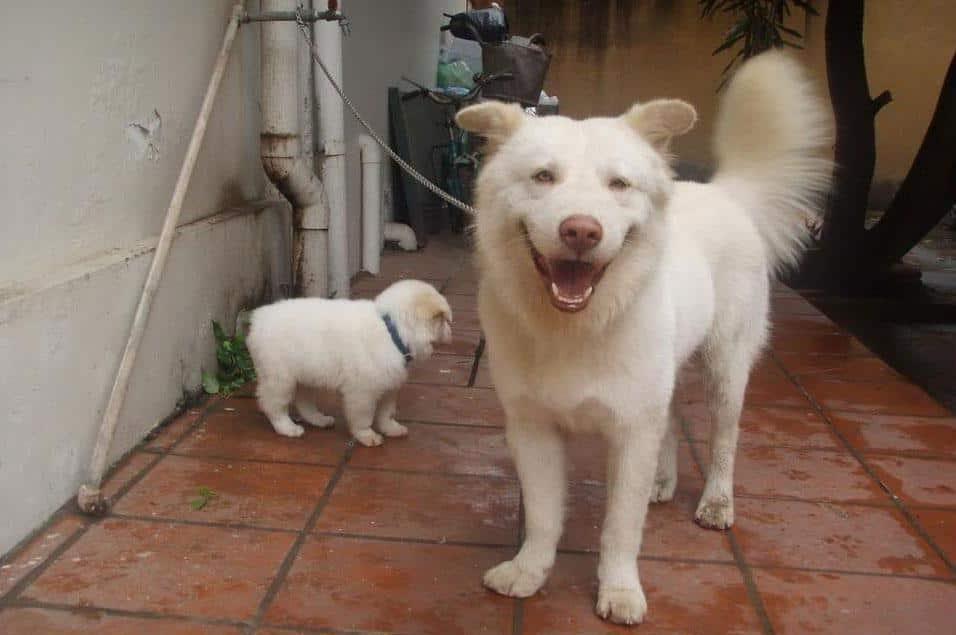 Chó Bắc Hà rất thân thiện với người nhà nhưng cảnh giác với người lạ