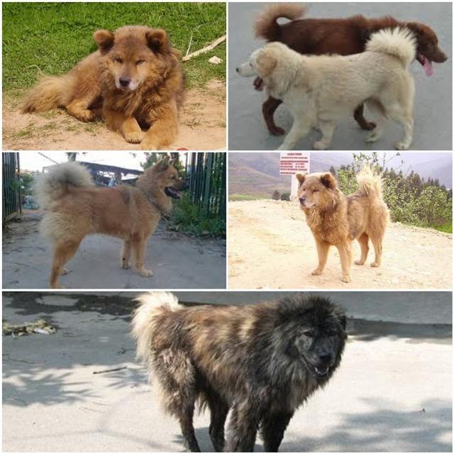 Chó Bắc Hà sinh sống chủ yếu ở vùng núi Tây Bắc