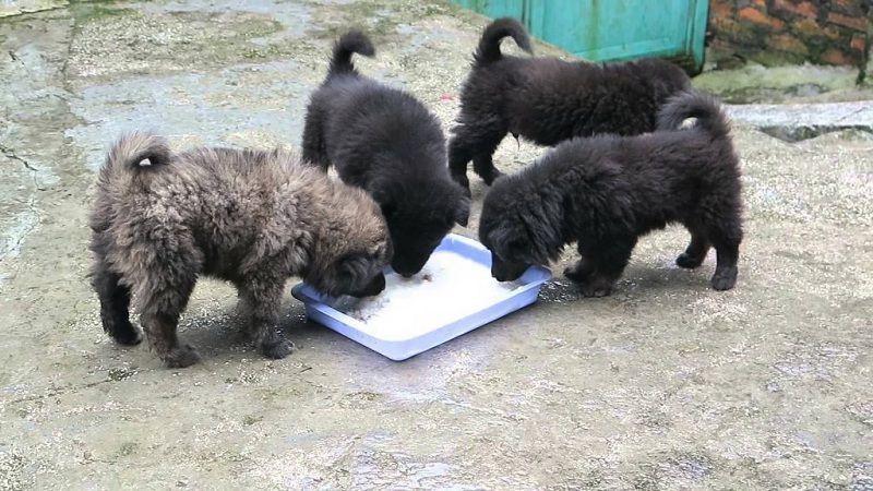 Một đàn chó Bắc Hà 2 tháng tuổi