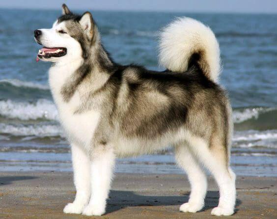 Chó Alaska là hậu duệ của một giống sói hoang ở Bắc Cực