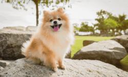 Chó phốc sóc – chú chó siêu quậy, đáng yêu