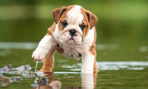 Tìm hiểu nguồn gốc, đặc điểm và cách nuôi chó Bull