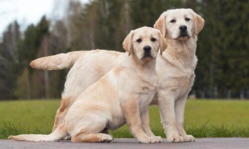 Chó Labrador Retriever – Chú cún tha môi thông minh, thân thiện và siêu dễ thương