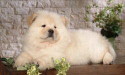 Nguồn gốc, đặc điểm và cách chăm sóc chó Chow Chow