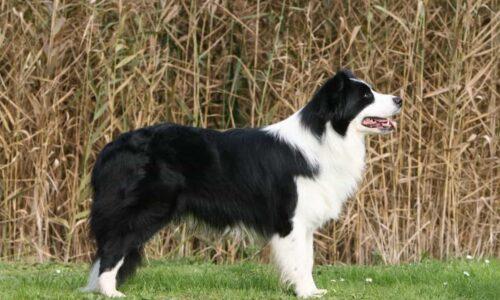 Tìm hiểu nguồn gốc, đặc điểm và cách nuôi chó Border Collie