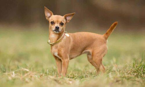 Chó chihuahua – giống chó nhỏ đáng yêu, thông minh