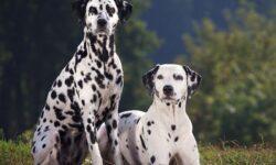 Tìm hiểu nguồn gốc, đặc điểm và cách nuôi chó đốm