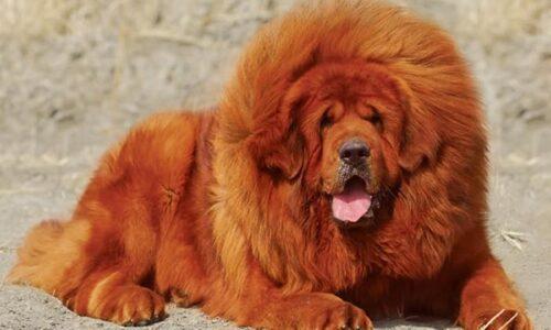 """Chó ngao tây tạng – """"Chúa tể thảo nguyên"""""""