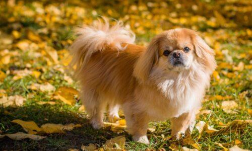 Tìm hiểu nguồn gốc, đặc điểm và cách nuôi chó Bắc Kinh