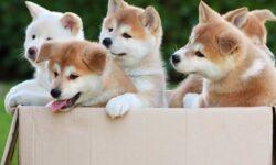 Tìm hiểu nguồn gốc, đặc điểm và cách nuôi chó Akita