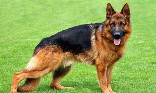 Tìm hiểu nguồn gốc, đặc điểm và cách nuôi chó Becgie