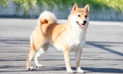 Chó shiba – chú chó Nhật Bản siêu thông minh