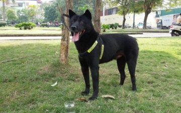 Chó Mông Cộc – quốc khuyển của Việt Nam